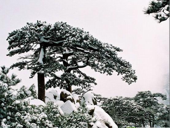 泰山雪松 - znx123000 - 心语小院